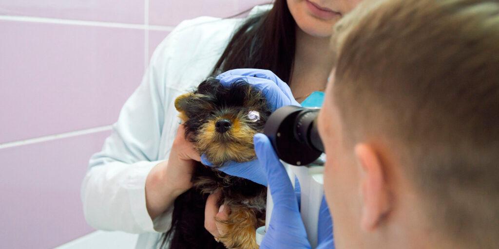 ветеринарные врачи-офтальмологи осматривают глаз собаки