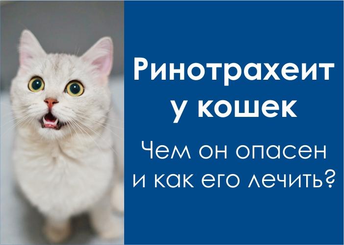 инфекционный ринотрахеит у кошек