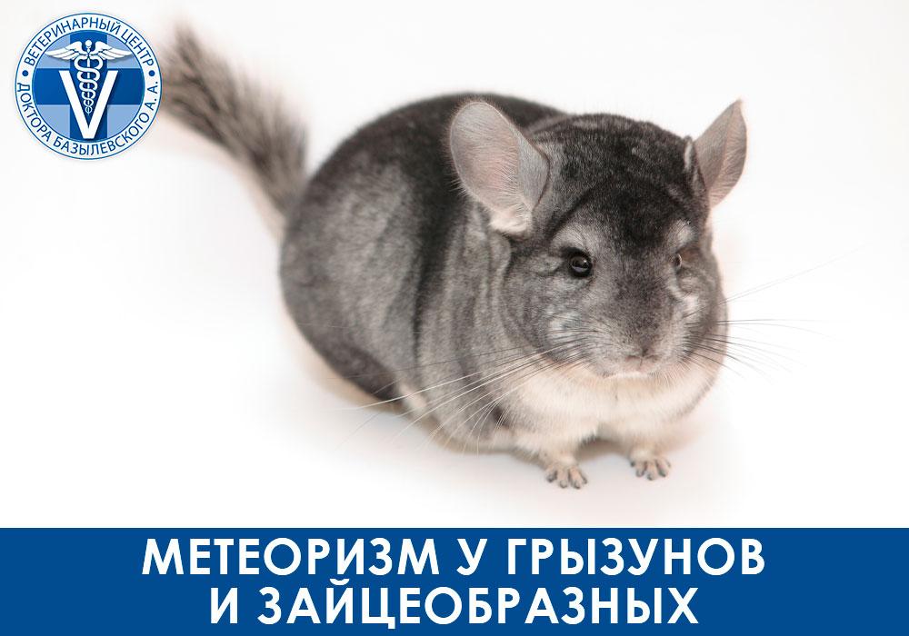 Метеоризм у грызунов и зайцеобразных